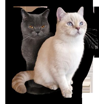 Britské kočky Colorpoint